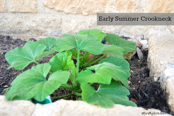 How does your Garden Grow? The early summer crook neck