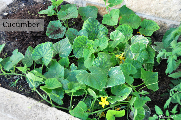 How does your Garden Grow? the cucumber plant is growing