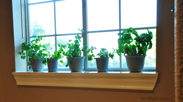 How does your Garden Grow? Windowsill herb garden.  Oregano, cilantro and basil