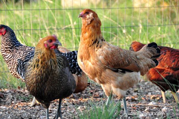 Raising Chickens: Week 19