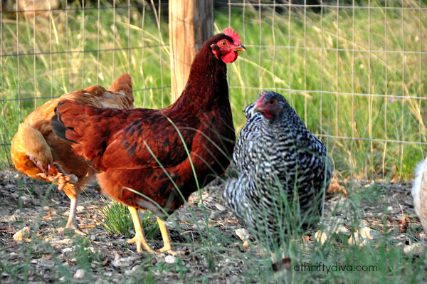 raising chickens week 19 rhode island red chicken