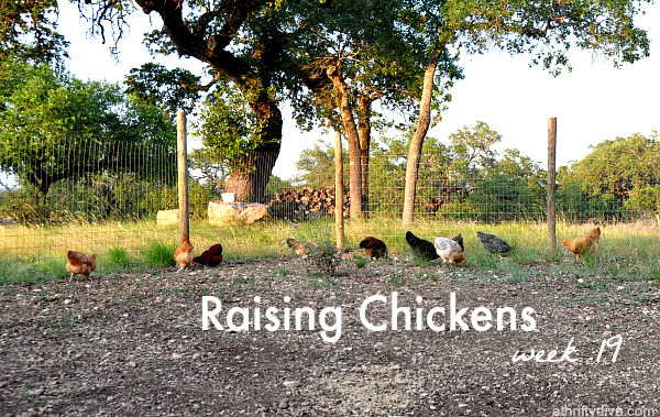 raising chickens week 19