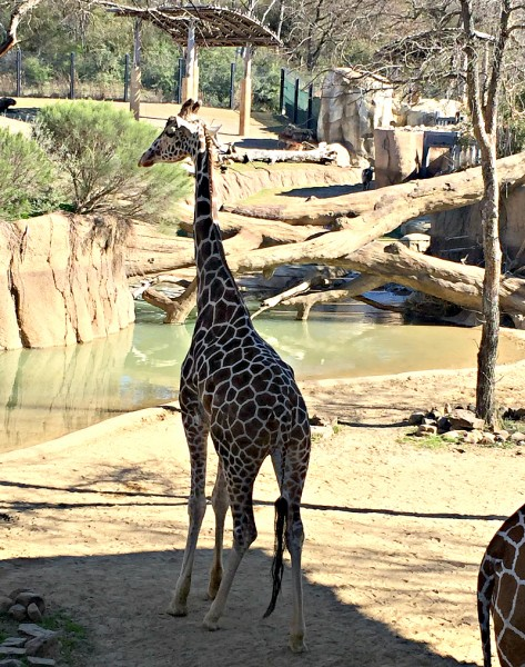 giraffes in the dallas zoo savanna