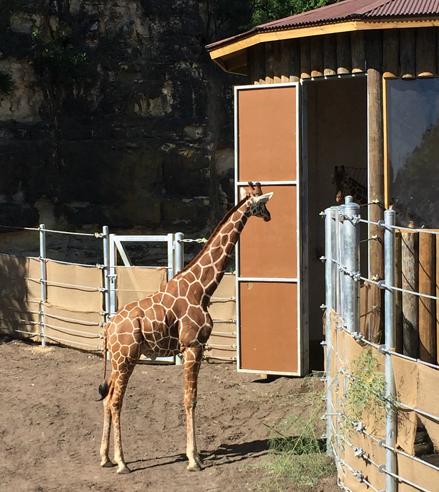 Giraffes Are Back At The San Antonio Zoo