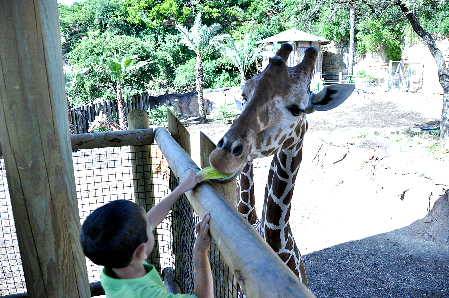 Feeding the giraffes at San Antonio Zoo Camp