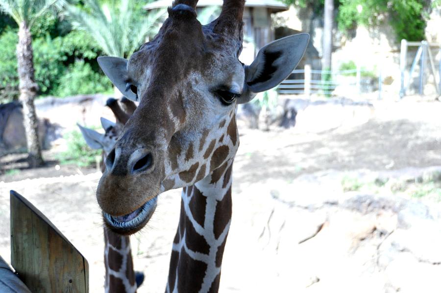 Good morning giraffes at the San Antonio Zoo Camp