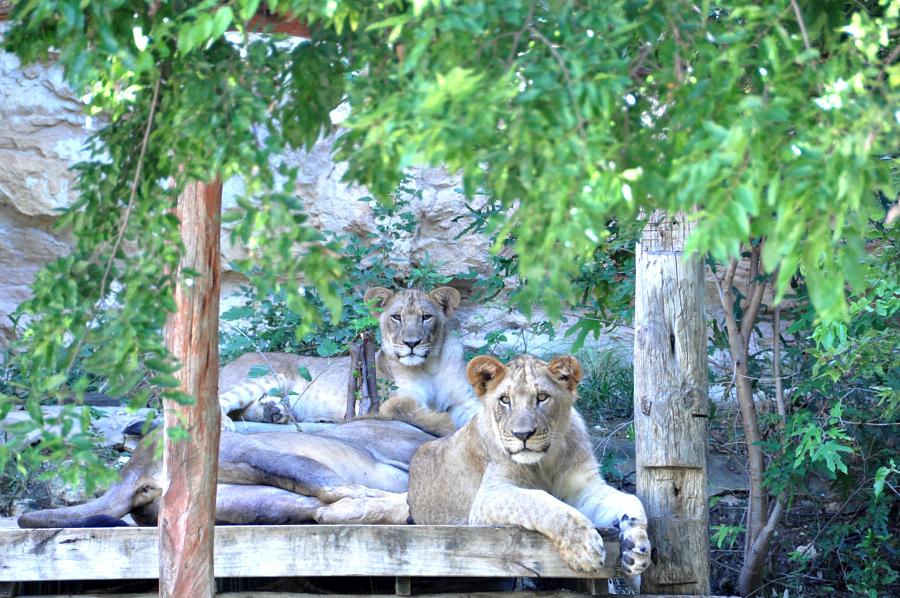 Lions at the San Antonio Zoo