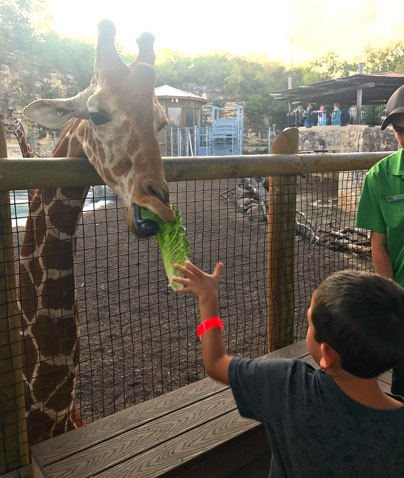 Feeding the giraffes at beastly Breakfast