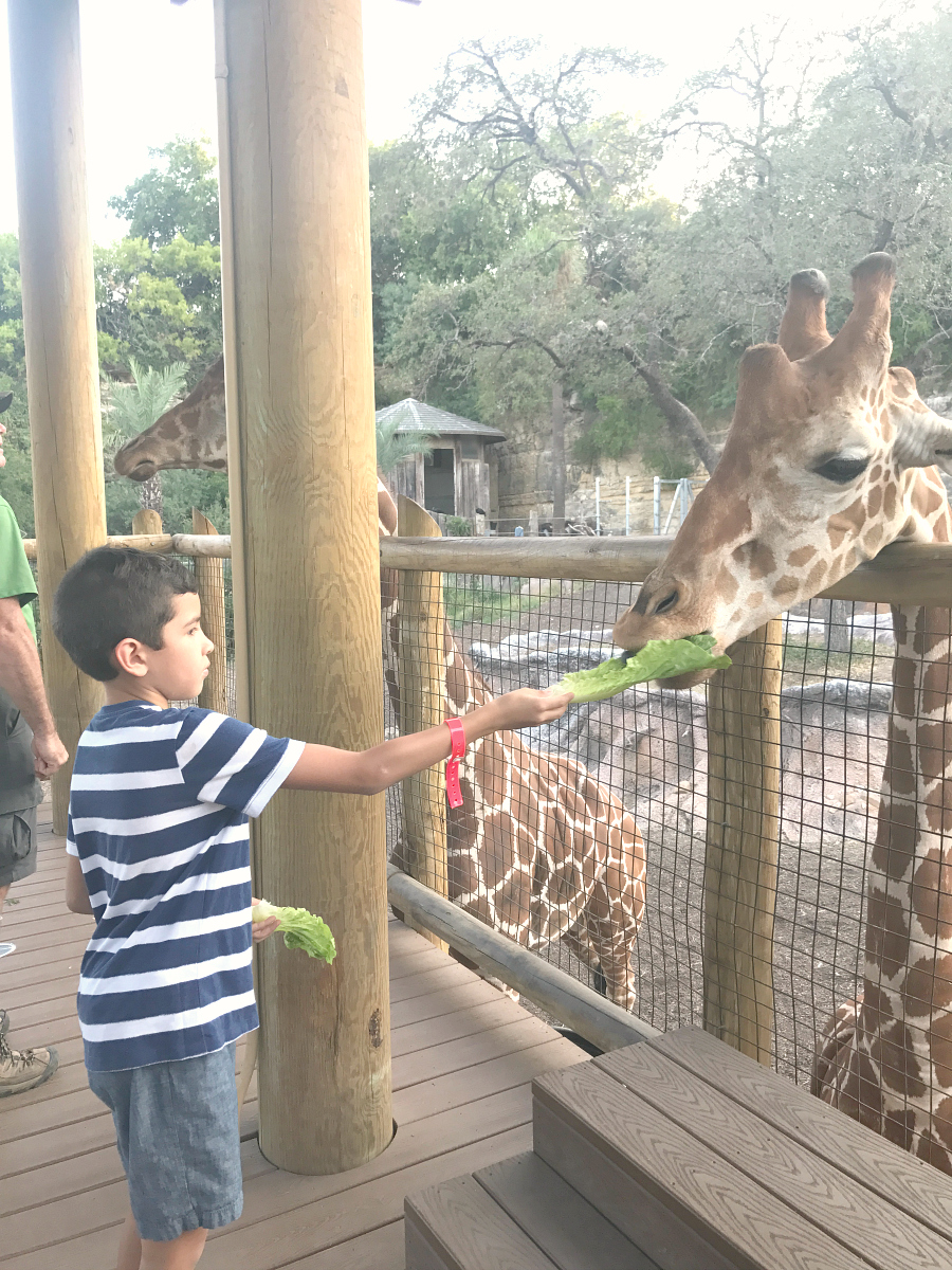 One on One with the giraffes at the San Antonio Zoo